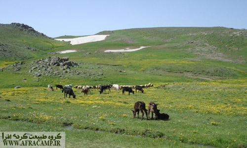 فکر کنم شیر این گاوها مزه گلهای بهاری بده
