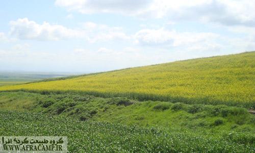 در بهار مزارع کلزا در استان گلستان جلوه ای از بهشت را به تصویر می کشند