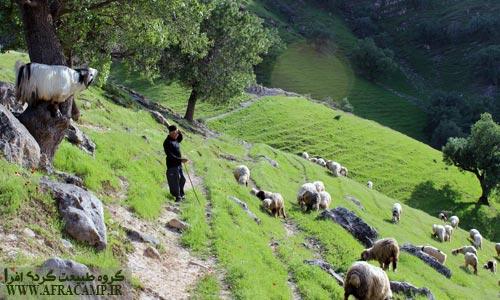 چرای گوسفندان در علفهای سبز بهاری