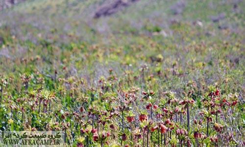 دشت پر از گل