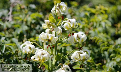 نام چلجراغ به راستی برازنده این گل کمیاب است. شنیده بودیم که این گل در شب میدرخشد که واقعاً هم به خاطر وجود رنگدانه ها کمی میدرخشید.