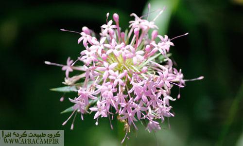 گل زیبای فیوپسیس در اطراف داماش که عموماً در مناطق رویشی خزری می روید