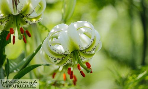 سوسن چلچراغ، گلی که در داماش می روید.
