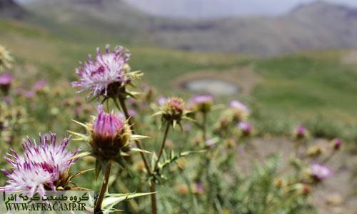 ترکیب گل های خار مریم و یک چاله آب باقیمانده از زمستان