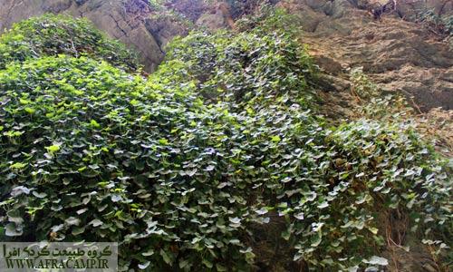 دیواره های سبز در برخی نقاط تنگه بستانک مناظر دیدنی به وجود آورده