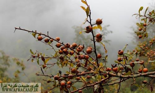 ازگیل جنگلی که محلی ها با پیوند زدن آن با ازگیل های درشت برداشت می کردند، رب ازگیل هم از محصولات ثانویه این جنگل است