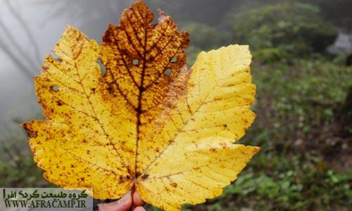 برگ زرد شده افرا