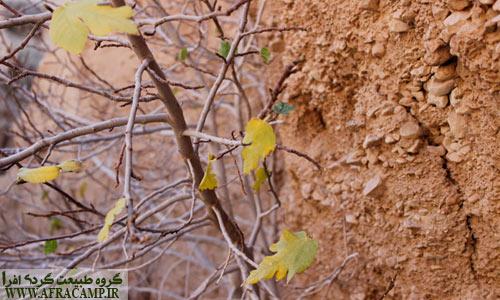 رگه های حیات در کال جنی، در حفره های این برهوت ریشه های درخت خود را به آب رسانده است.
