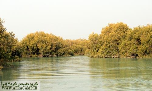 درختان حرا از مجموعه مانگرو ها هستند