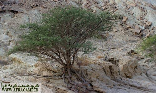 ریشه های این درخت آکاسیا درون سنگها پیچیده اند