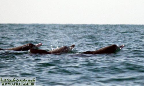 دسته های دلفین در نزدیکی جزیره هنگام