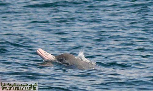 با مقایسه عکس با یک مرجع شناخت دلفین، اگر اشتباه نکرده باشم این گونه جز دسته بینی بطری هندی محسوب می شود.