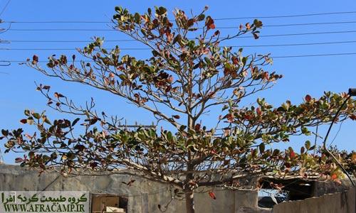 درخت گاروم زنگی که در اکثر نواحی جنوبی ایران دیده می شود.
