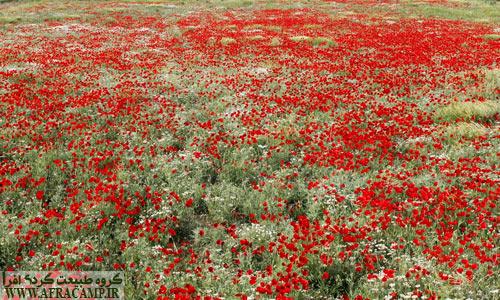 دشت های شقایق کردستان در اردیبهشت همه جا را قرمز می کند.