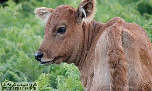 گوساله زیبا