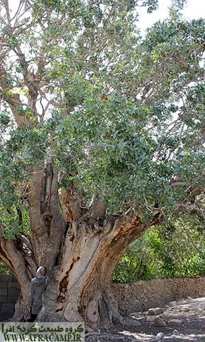 درخت کهنسال پسته در اودرج