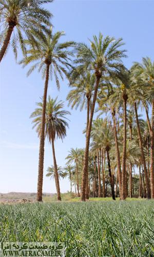 نخلستان های روستای دامن