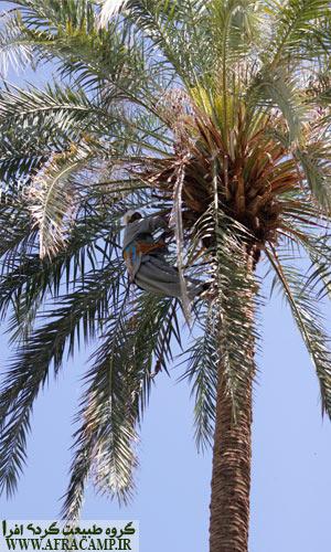 باروری درخت ماده خرما می بایست به صورت دستی انجام شود.
