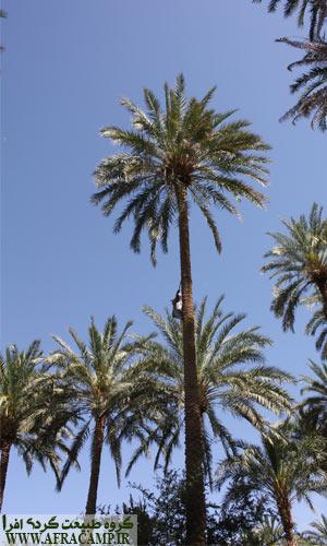 بالا رفتن از درختان بلند خرما جهت لقاح