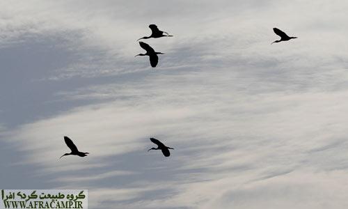 پرواز دسته ای اکراس سیاه
