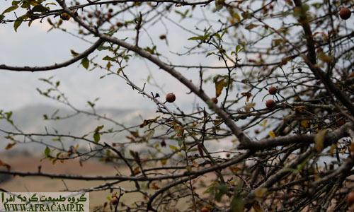 کنوس یا ازگیل میوه مهرماه جنگل