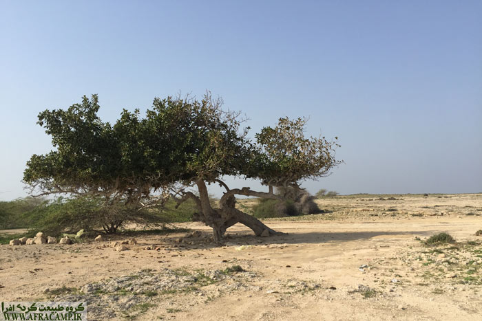 نمی دونم این درخت انجیر معابد هست یا نه ولی به نظرم هست