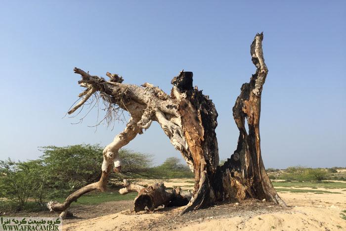 درخت بزرگی که سوخته بود، امید وارم صاعقه عامل بوده باشه