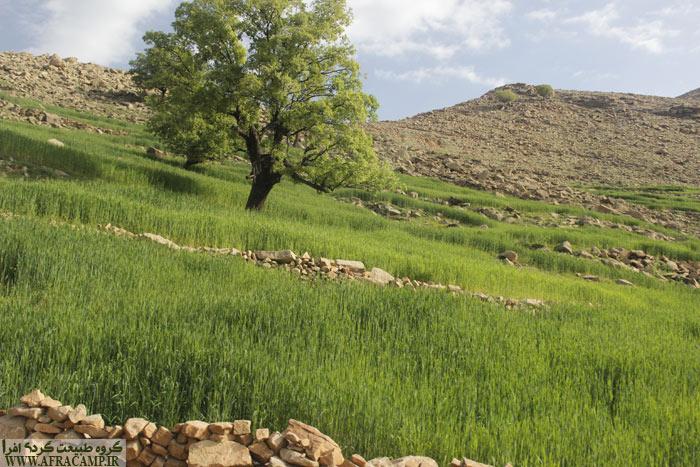روستاییان گندم دیم خود را کشت کرده اند. حالا نوروز و اینچنین سرسبز.