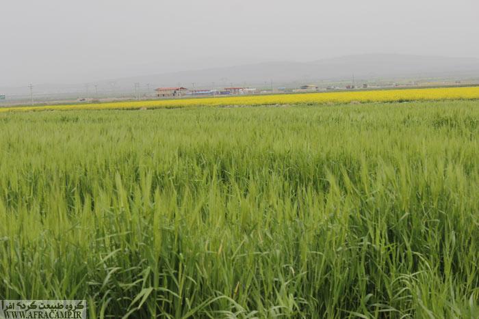 گندم زارهای بهاری در مسیر آوه