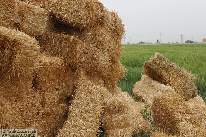 در بین راه گندم زارها به شدت خودنمایی می کنند و چاره جز توقف نداریم.