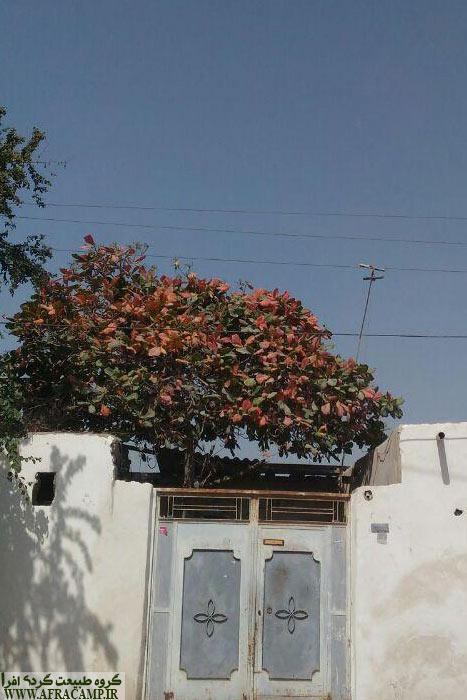درخت گاروم زنگی زینت بخش خانه های جنوب