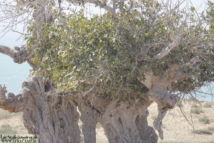 درختهای جالب در نزدیکی نخیلو